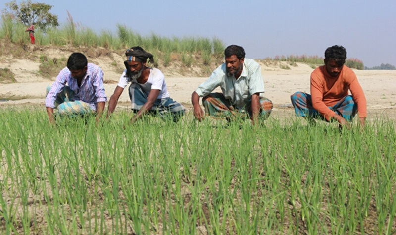 Onion cultivation is popular as a companion crop