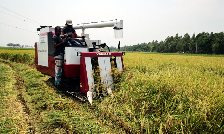 Combine harvester in Singra started cutting and threshing paddy