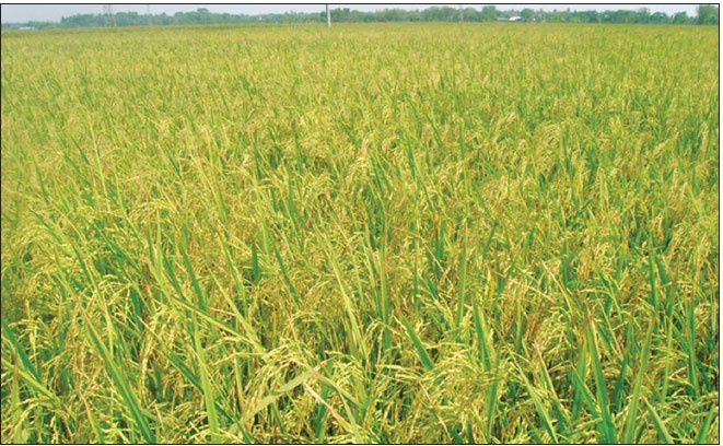 The Ministry of Agriculture says that 62 percent of the paddy in Haor has been harvested